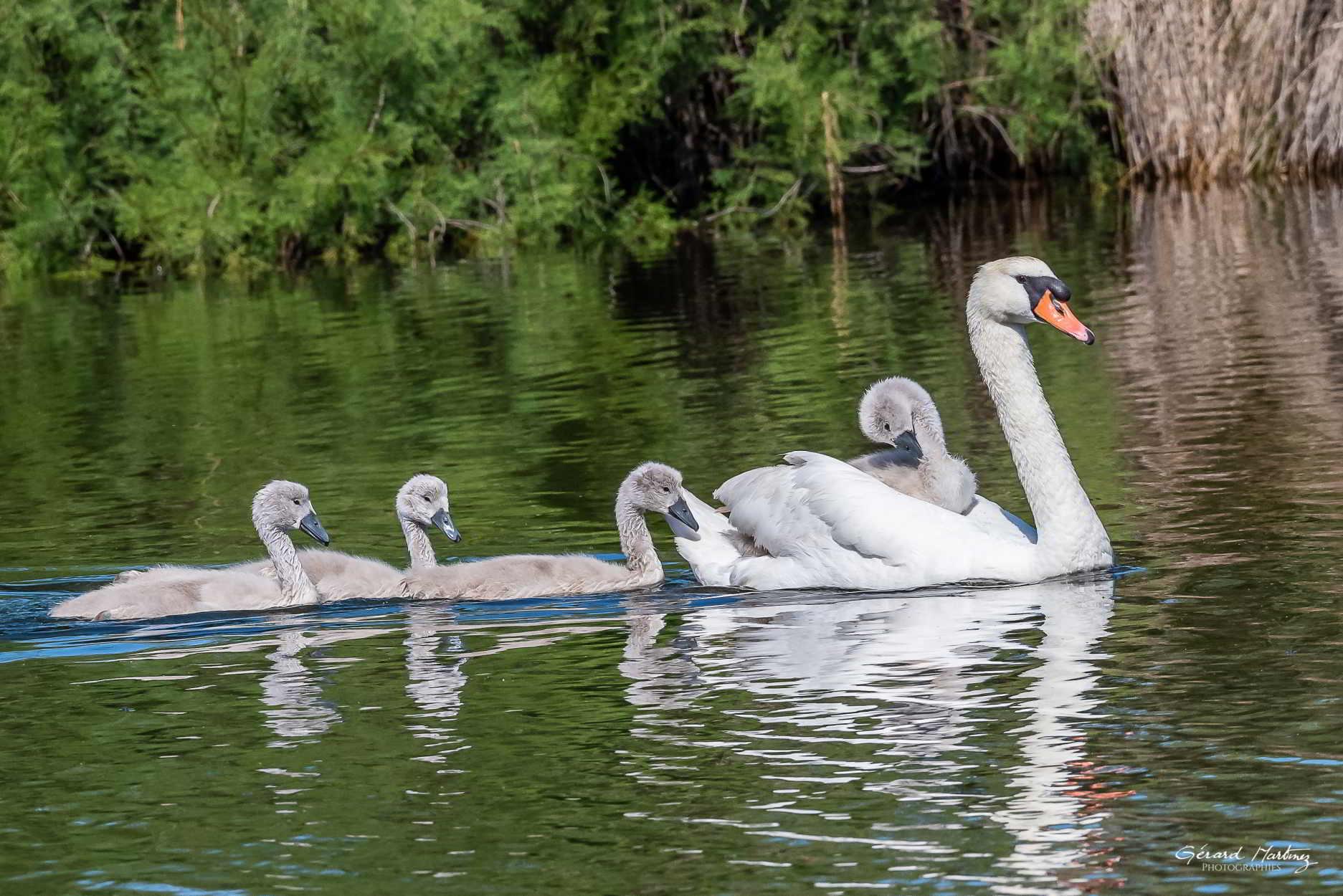 Cygnes en famille