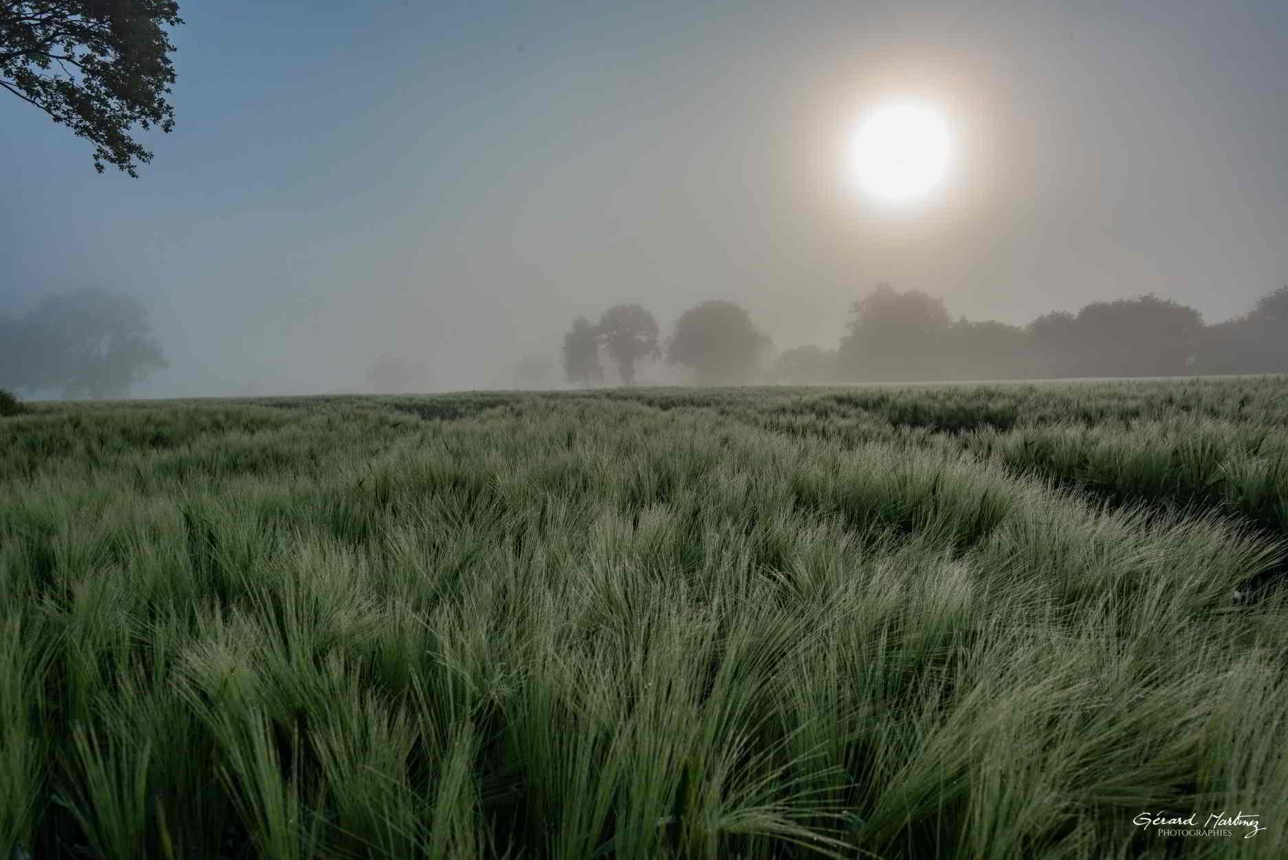 Champ de blé au petit matin